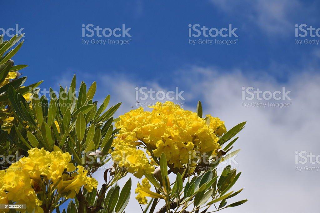 Silver Trumpet Tree. stock photo