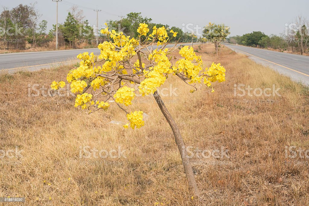 Silver trumpet tree, Tree of gold,Paraguayan silver trumpet tree stock photo