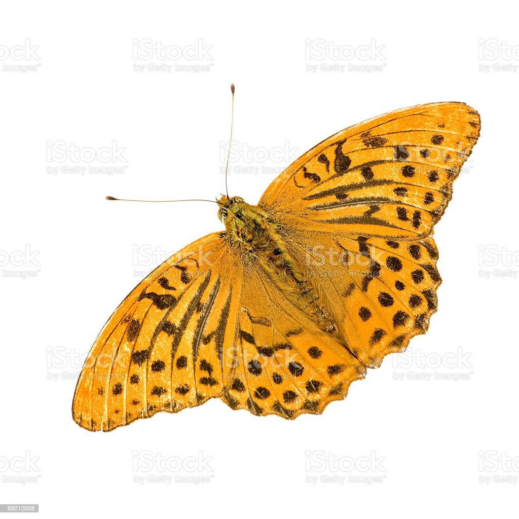 Silver Washed Fritillary Butterfly stock photo
