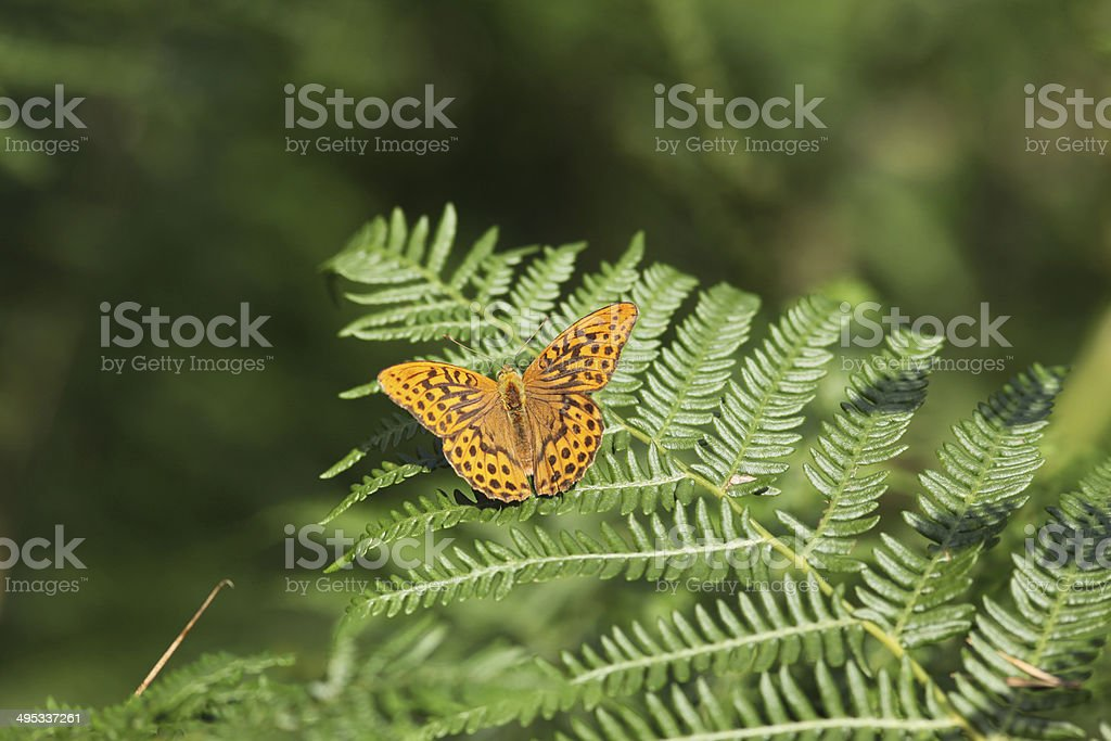 silver washed fritillary on fern frond stock photo