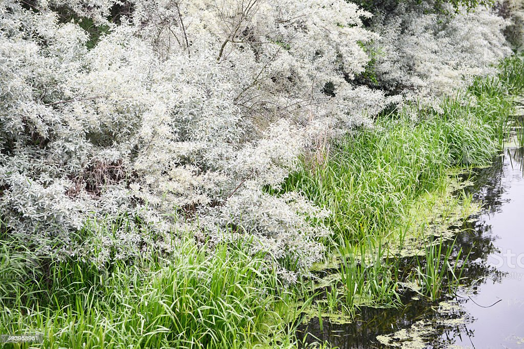 silver willow tree at river stock photo