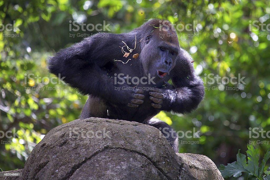 Silverback gorilla beating chest stock photo