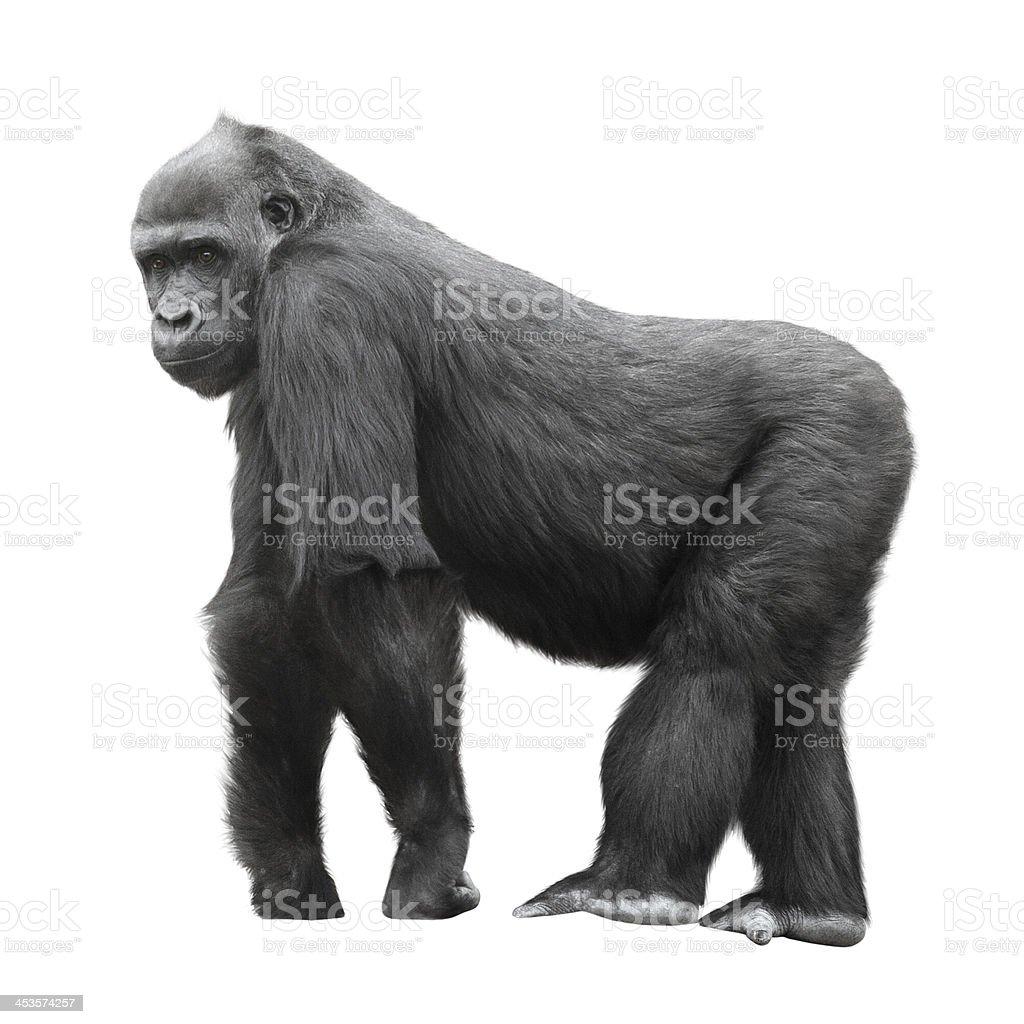 Silverback gorilla isolated on white stock photo