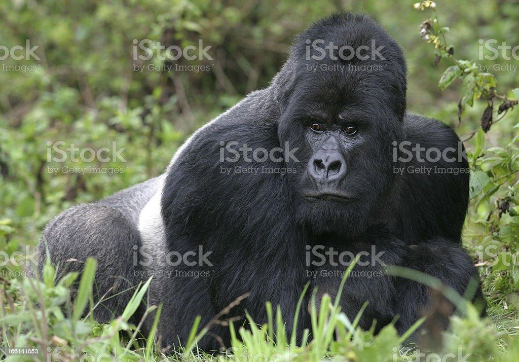 Silverback gorilla lying in lush green vegetation stock photo
