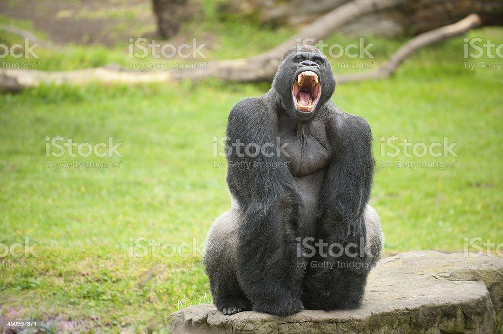 Silverback gorilla makes scary face stock photo
