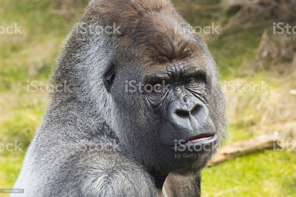 Silverback Gorilla royalty-free stock photo