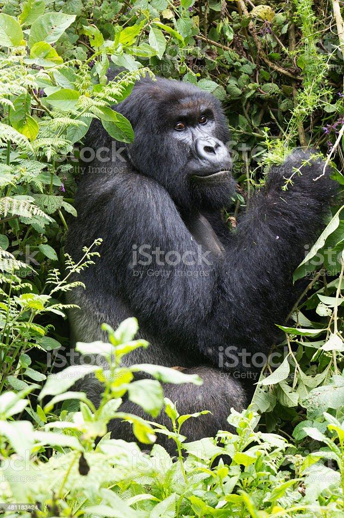 Silverback Mountain Gorilla stock photo