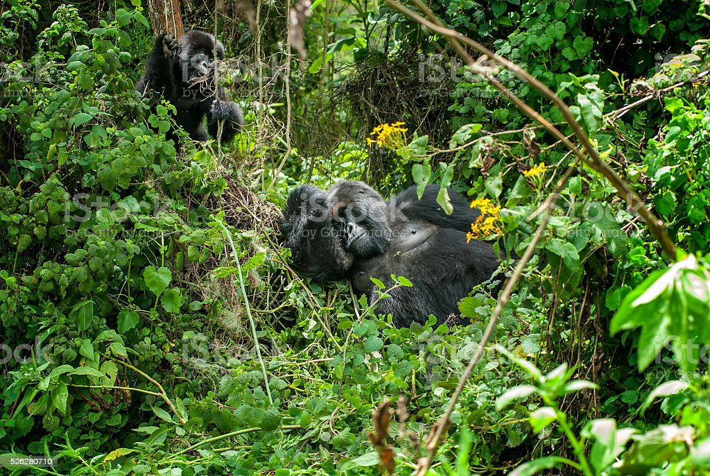Silverback Mountain Gorilla with juvenile in Rwanda stock photo