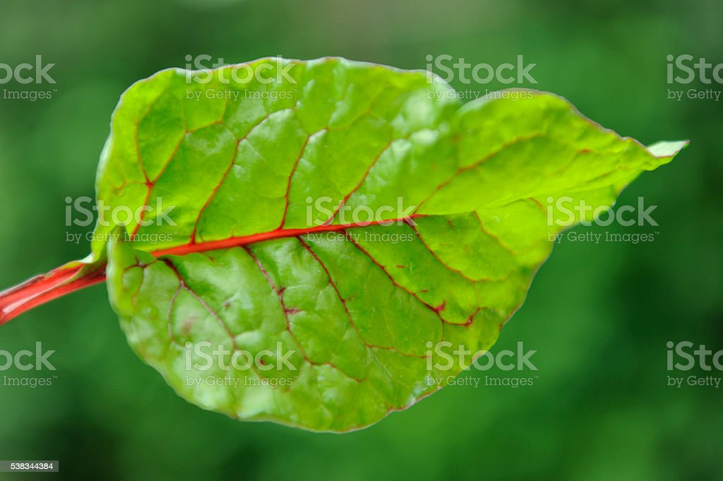 Silverbeet leaf stock photo