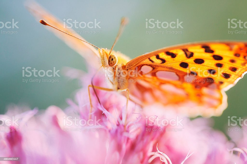 Silver-bordered fritillary (Boloria selene) stock photo