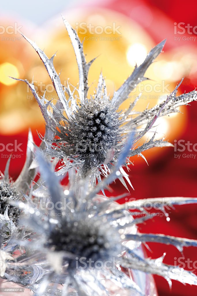 Silverd thistle close-up stock photo