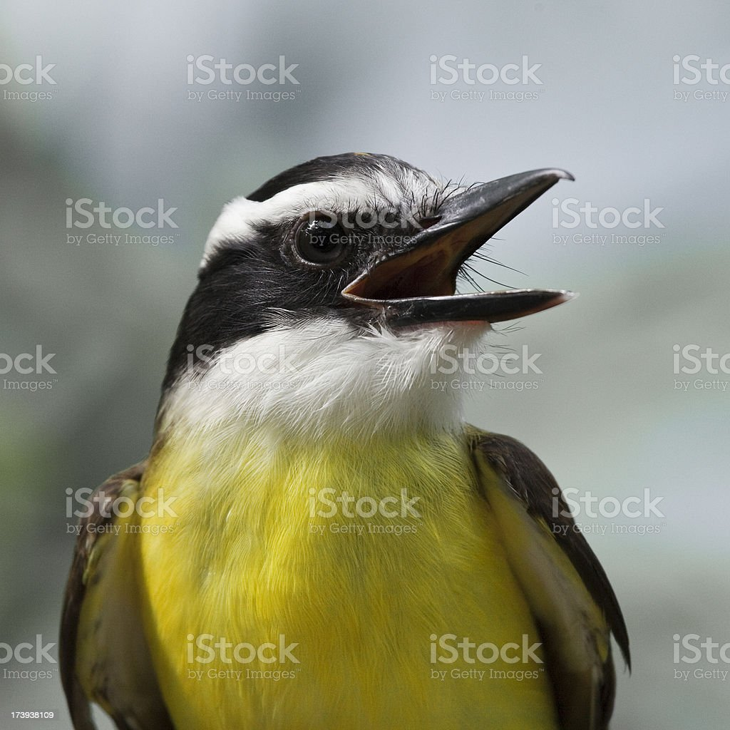 Silver-eared Mesia royalty-free stock photo