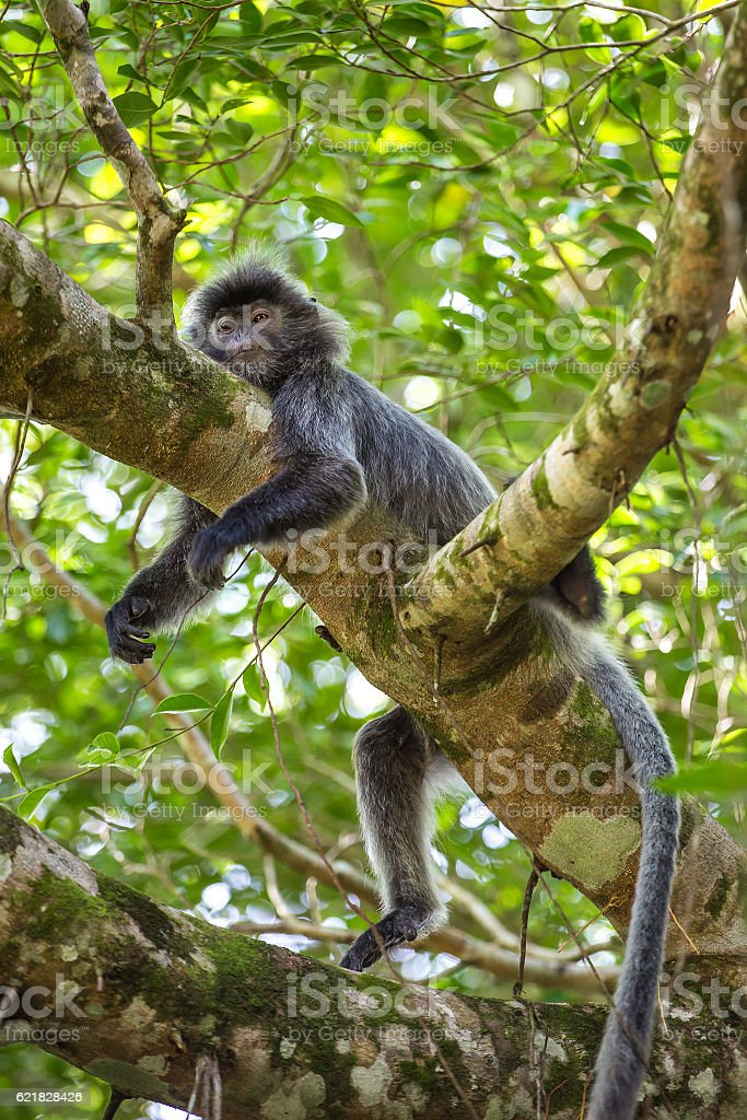 Silvered leaf langur monkey in Bako National Park stock photo