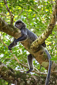 Silvered leaf langur monkey in Bako National Park