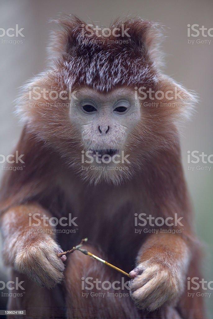 Silvered leaf monkey royalty-free stock photo