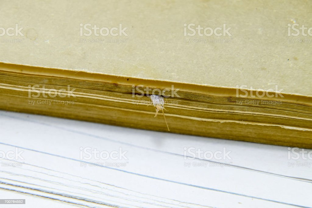 Silverfish is crushed by pages of the book. Pest books and newspapers. Insect feeding on paper - silverfish stock photo