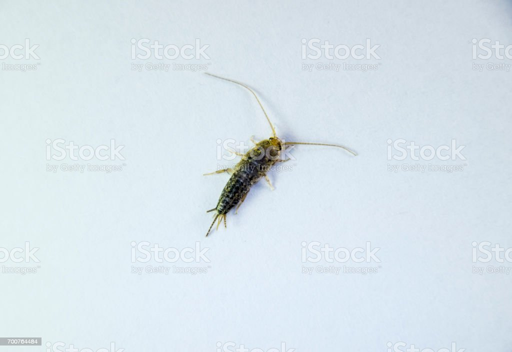 Silverfish on a white sheet of paper. Pest books and newspapers. Insect feeding on paper - silverfish stock photo