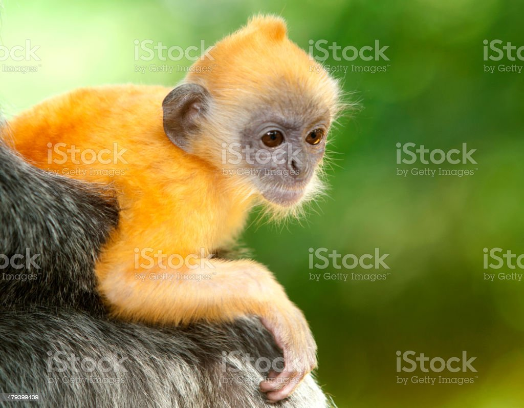 silverleaf monkey juvenile stock photo