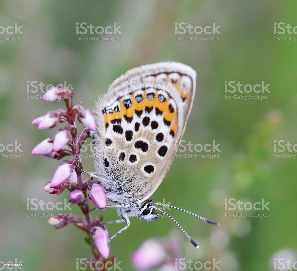 Silver-studded Blue Butterfly (Plebeius argus) Female stock photo