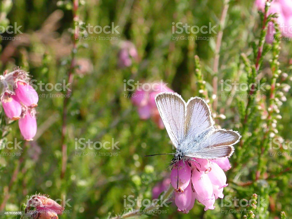 Silver-studded Blue Butterfly (Plebeius argus) Male stock photo