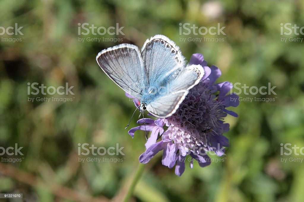 Silver-studded Blue butterfly, Plebejus argus royalty-free stock photo