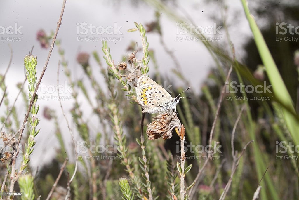 Silver-studded Blue in Heather royalty-free stock photo