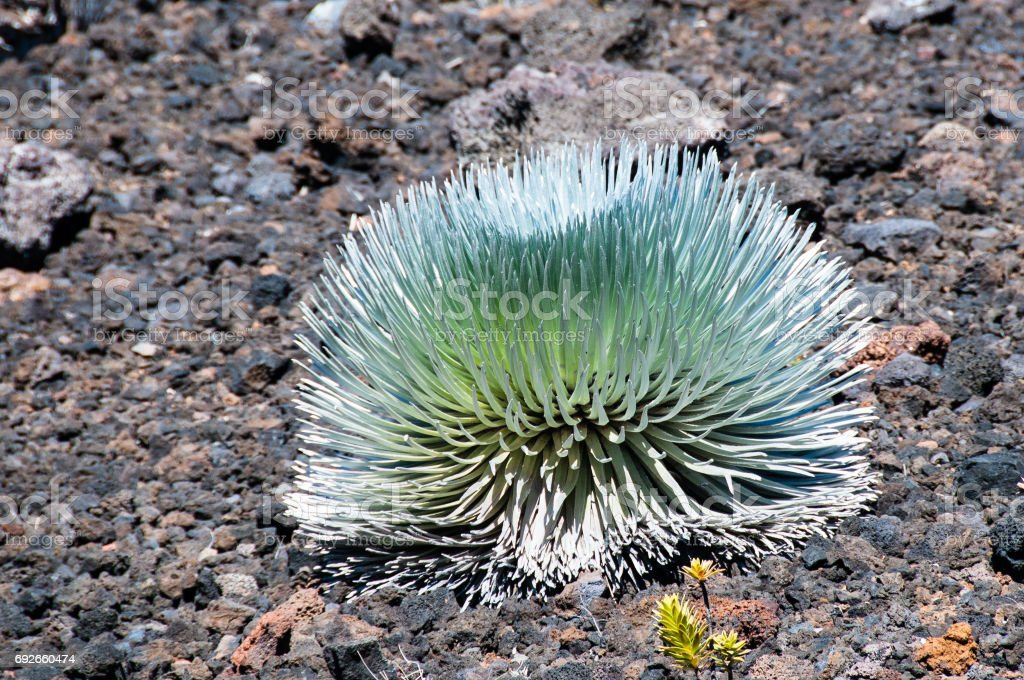 Silversward is one of the few plants that grow on the rocky top of Haleakala. stock photo