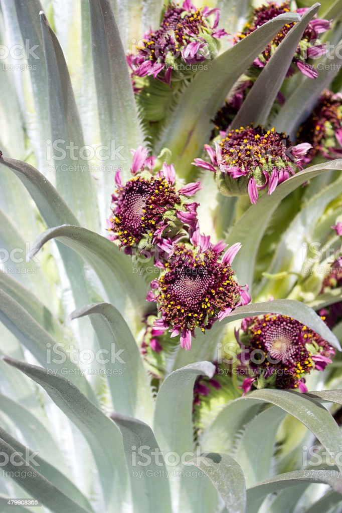 Silversword flowers stock photo
