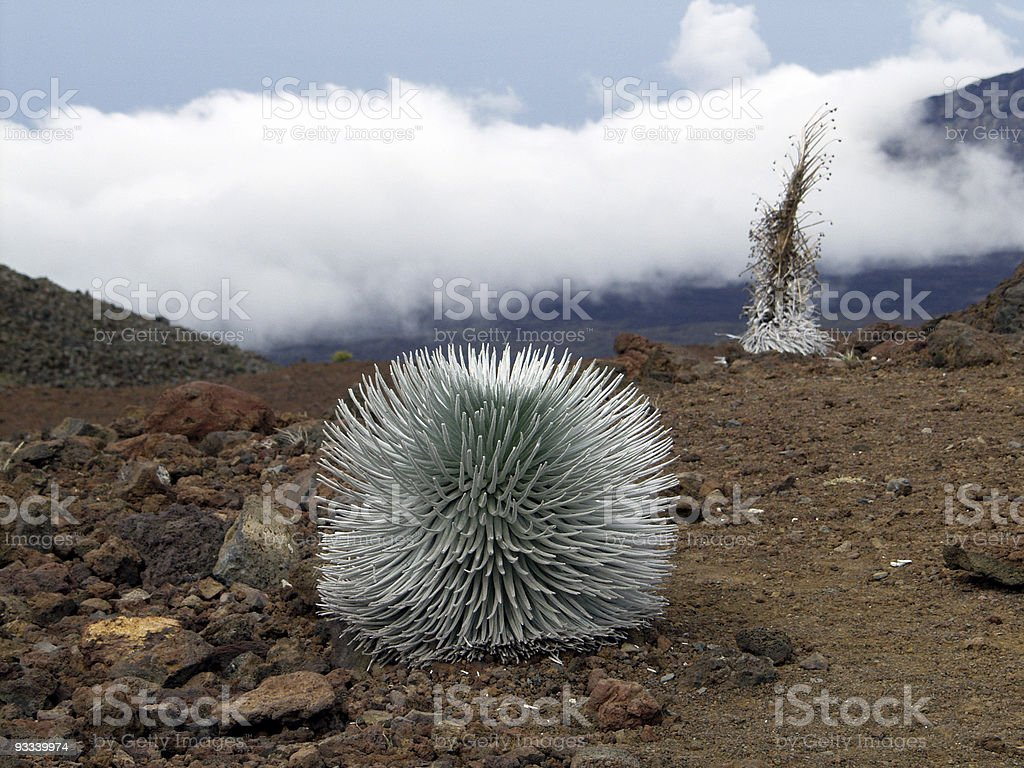 Silversword royalty-free stock photo