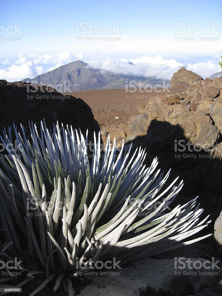 Silversword plant & View royalty-free stock photo