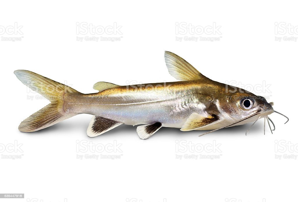 Silver-tipped Shark Catfish Ariopsis seemanni silver tipped aquarium fish isolated stock photo