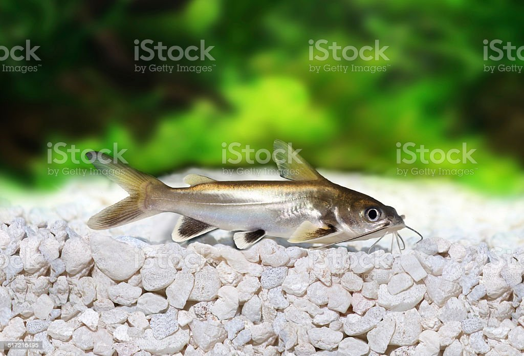 Silver-tipped Shark Catfish Ariopsis seemanni silver tipped stock photo