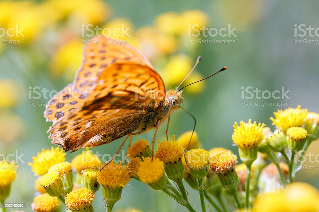 silver-washed fritillary butterfly on Tansy stock photo