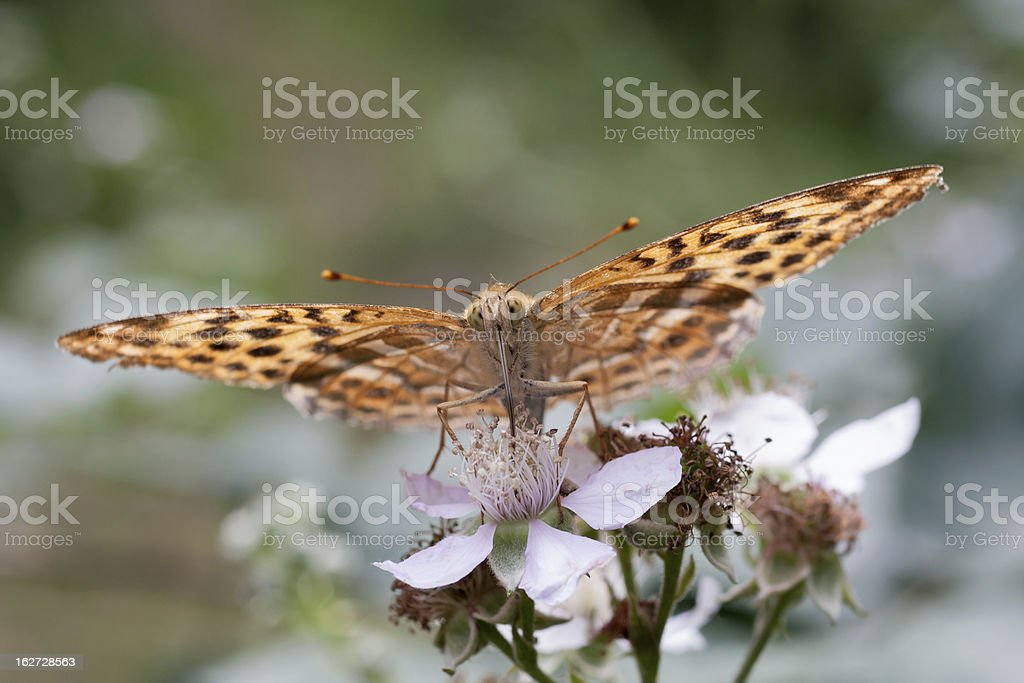 Silver-washed Fritillary (Argynnis paphia) royalty-free stock photo