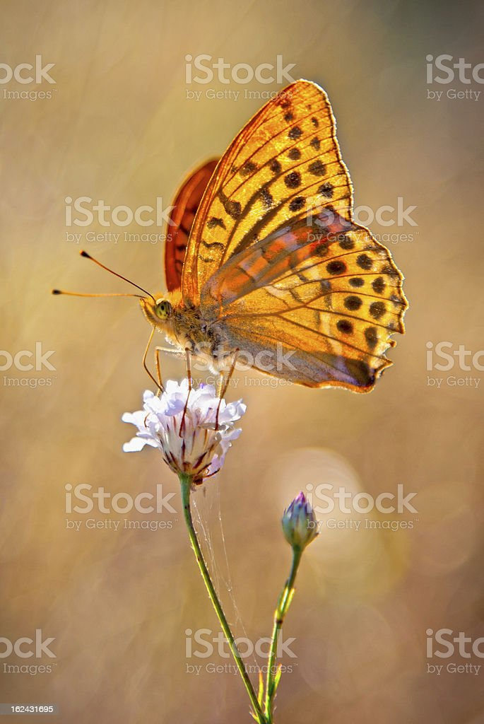 Silver-Washed fritillary yellow Butterflie stock photo