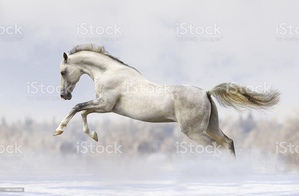 silver-white stallion stock photo