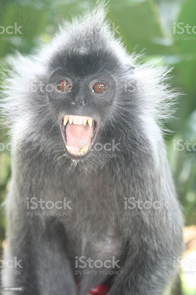 Silvery Lutung bares its fangs stock photo