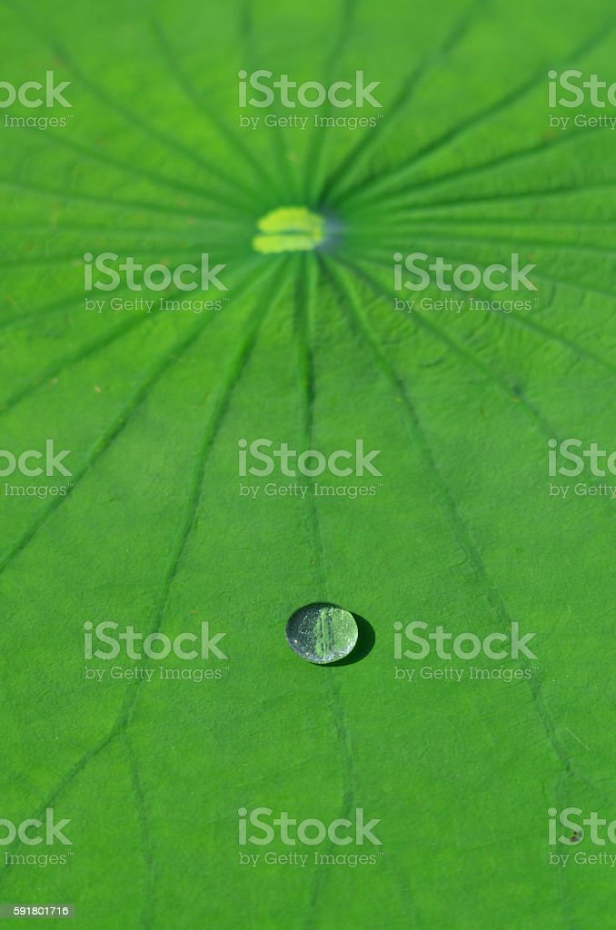 Silvery water drop on lily pad laf vein stock photo