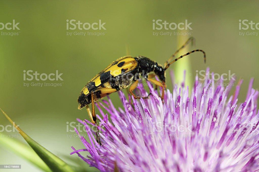Silybum marianum and  Rutpela maculata,  Mariendistel mit geflecktem Schmalbock royalty-free stock photo
