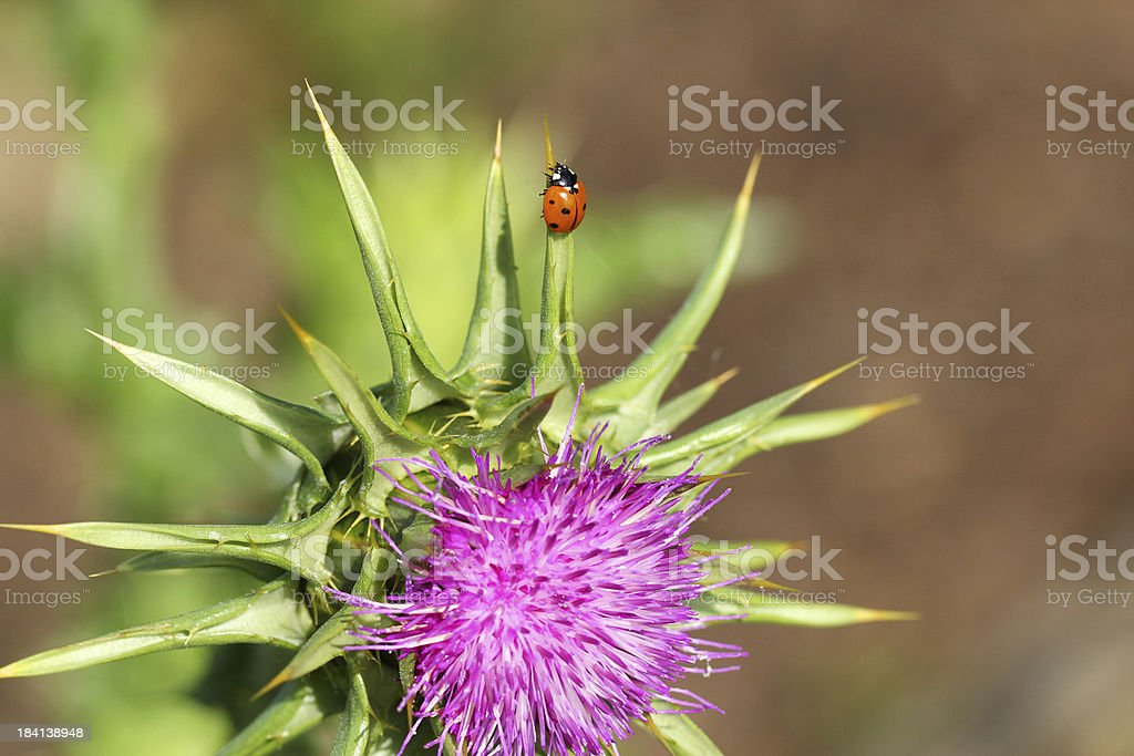 Silybum marianum - Mariendistel mit Marienkaefer stock photo