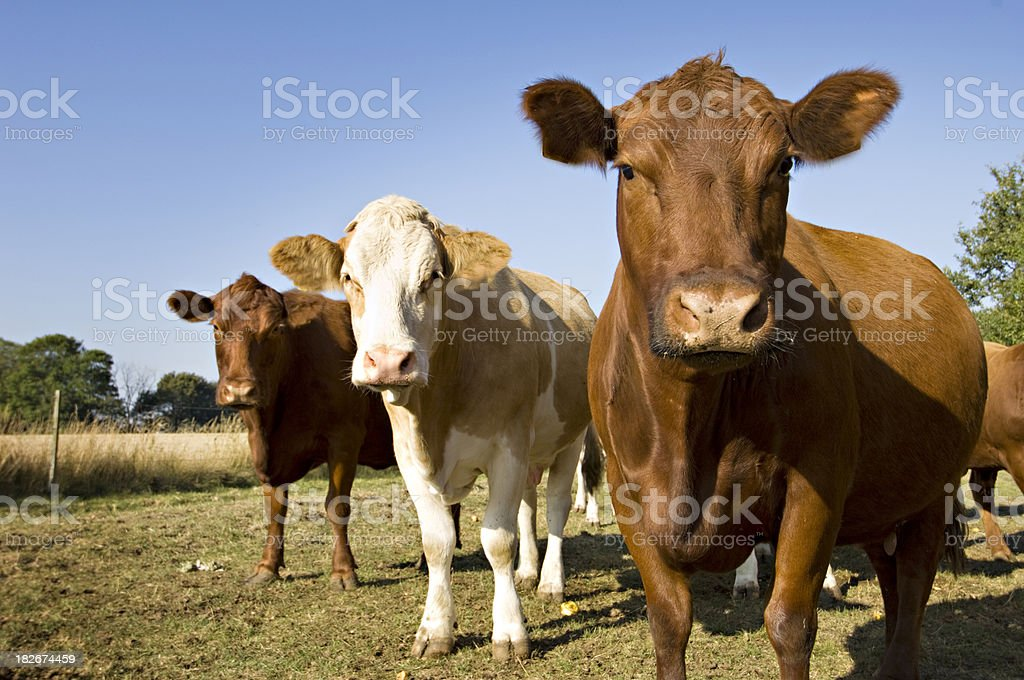 Simmental and  Aberdeen Angus Cow's in the Field. stock photo