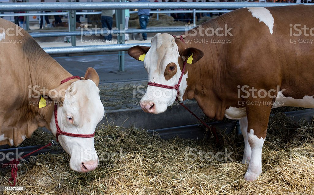 Simmental cattle in stable stock photo