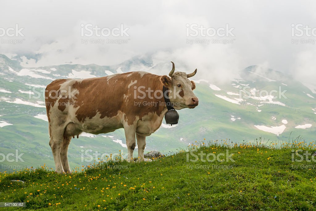 Simmental cattle with cowbell stock photo