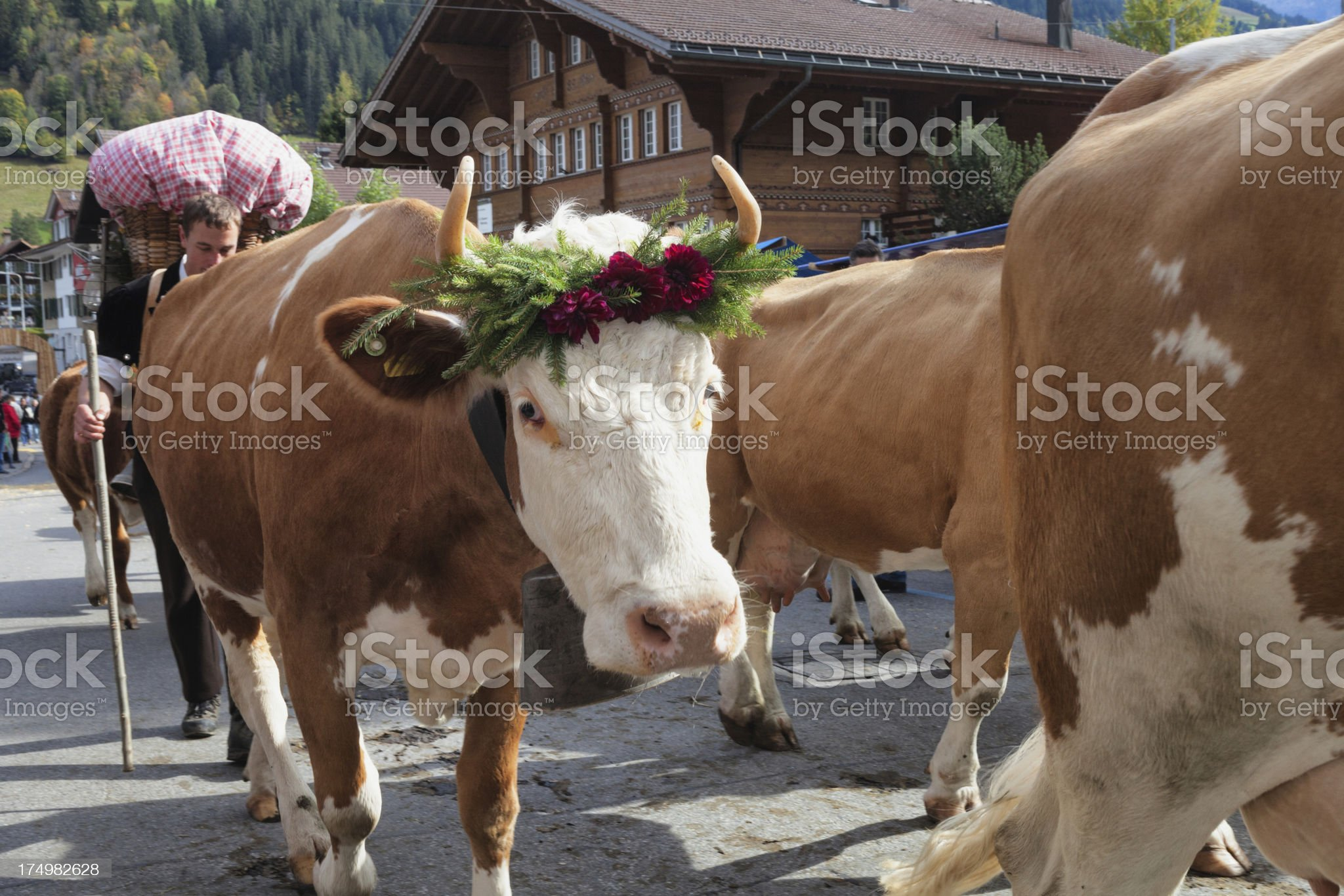 Simmental Cow facing camera on parade in Aelplerfest royalty-free stock photo