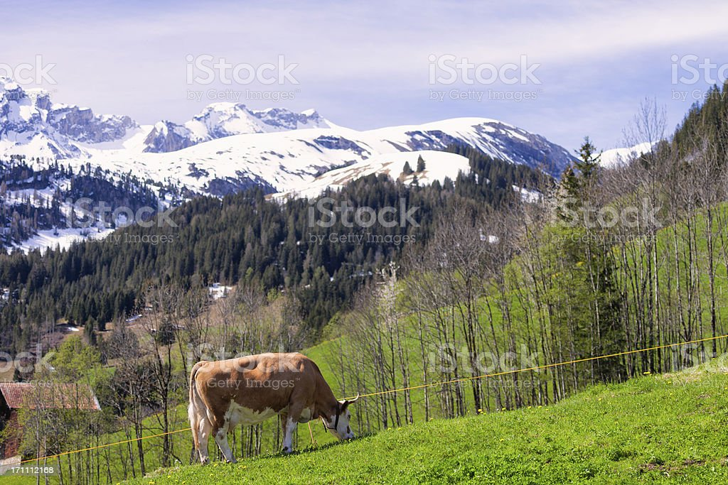 Simmental Cow grazing in the Swiss Alps, spring stock photo