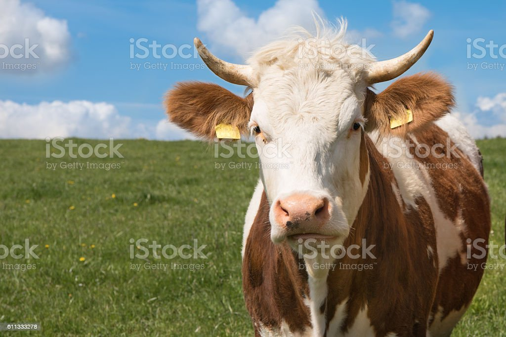Simmental cow in a meadow in the Allgaeu stock photo