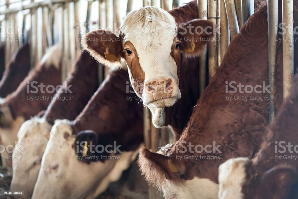 Simmental Cow Looking stock photo
