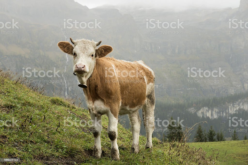 Simmental Cow on Alp in Bernese Oberland Switzerland royalty-free stock photo