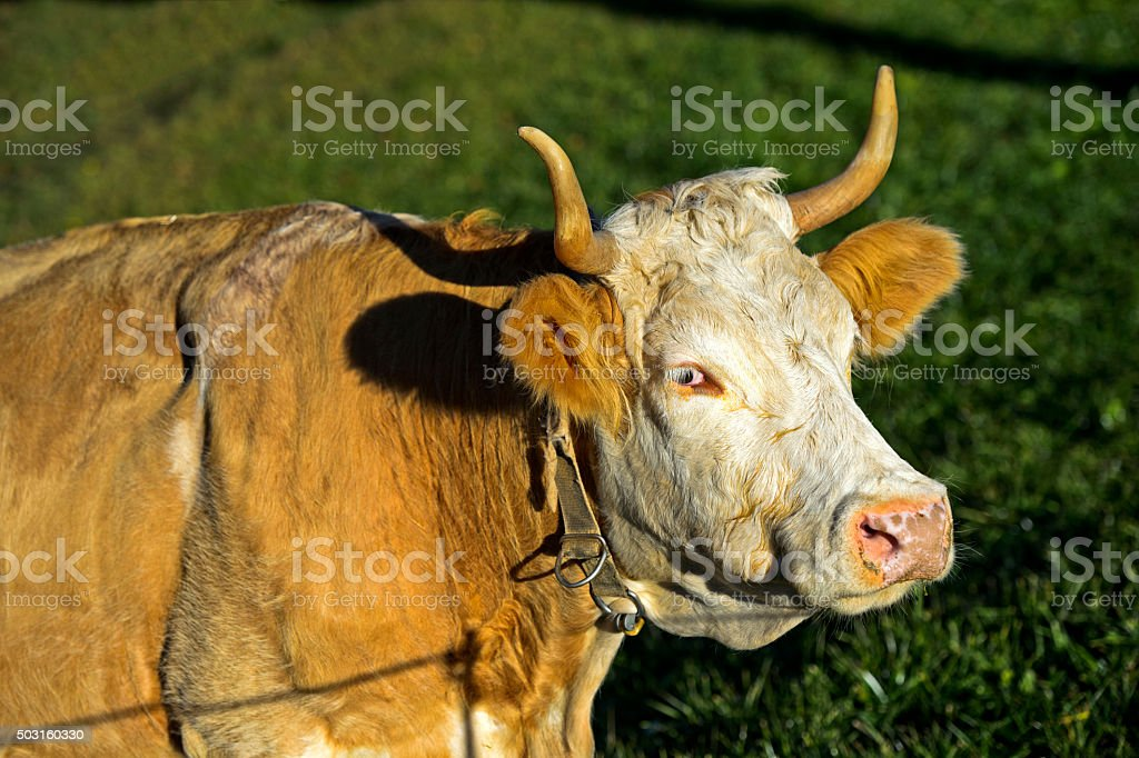 Simmental cow stock photo