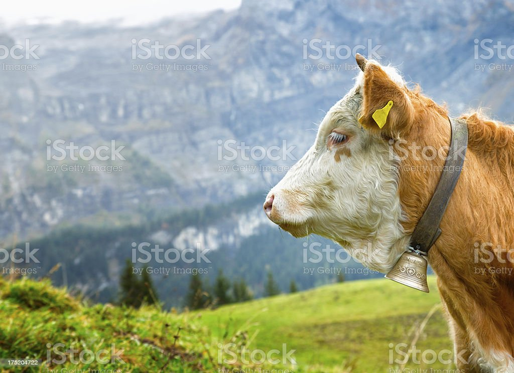 Simmental Cow Profile with Bell, Alps and Pastures royalty-free stock photo